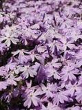 Phlox fleurissant de rampement Photos libres de droits