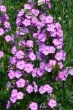 Phlox fleurissant rose (Phlox) Images libres de droits