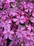 Phlox fleurissant Styloid (subulata de phlox) Photographie stock libre de droits