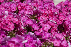 Phlox flower. Nature pink  purple beauty blossom close-up, background Royalty Free Stock Image