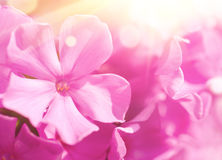 Phlox flower background Stock Photo