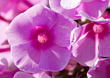 Phlox flower Royalty Free Stock Images