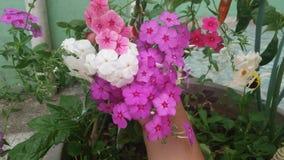 Phlox flower bouquet stock photography