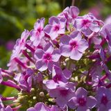 Phlox flower cluster Stock Images