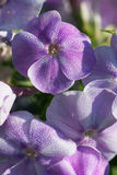 Phlox flower. In drops of morning dew Stock Images