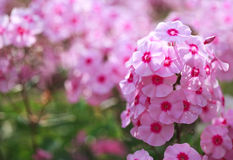Phlox flower - genus of flowering herbaceous plants Stock Photos