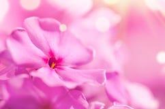 Phlox flower macro Royalty Free Stock Photos
