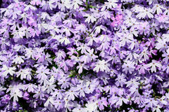 Phlox Stock Photos