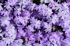 Phlox Royalty Free Stock Images