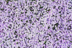 Phlox Stock Photography