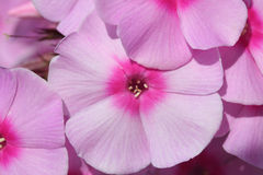 Phlox flowers Stock Images