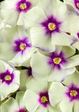 Beautiful Phlox Flowers in full bloom royalty free stock image