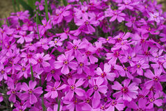 Phlox flowers Stock Photo