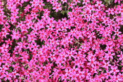 Phlox flowers Royalty Free Stock Images