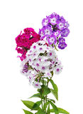 Phlox flowers Royalty Free Stock Photo
