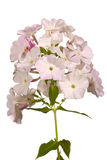 Phlox flowers Stock Image