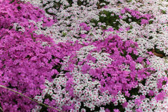 Phlox flowers. Brilliant mix of phlox flowers in a garden bed Royalty Free Stock Image