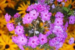 Phlox Flowers Royalty Free Stock Photos
