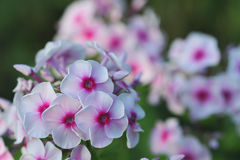 Phlox flowers. Royalty Free Stock Images