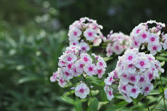 Phlox flowers. Royalty Free Stock Photos