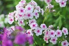 Phlox flowers. Stock Photos