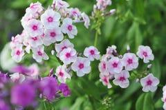Phlox flowers. Royalty Free Stock Image
