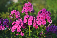 Phlox flowers. Stock Image
