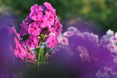 Phlox flowers. Stock Photo