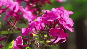 Phlox flowers close view stock video footage