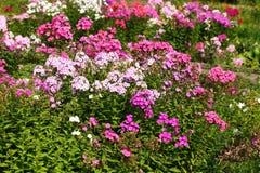 Phlox flowers Royalty Free Stock Photography