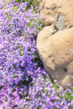 Phlox flowers on flowerbed near big boulder Royalty Free Stock Photos