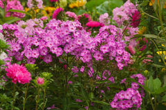 Phlox flowers in garden Stock Photos