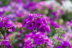 Phlox flowers Stock Photography