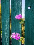 Phlox flowers peek out from behind the fence stock photography