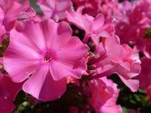 Phlox flowers Stock Image