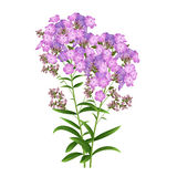 Phlox Flowers Vector. Phlox Flowers  on White Background. Vector illustration Royalty Free Stock Image