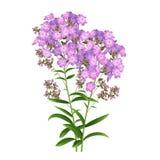 Phlox Flowers Vector Royalty Free Stock Image