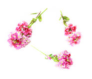 Phlox fresh pink flower on white background, photo manipulation Royalty Free Stock Images