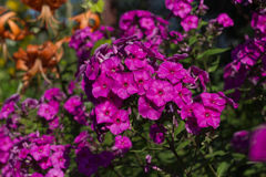 Phlox fuchsia color. Phlox in the summer garden. Royalty Free Stock Image