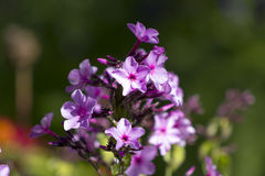 Phlox in garden. Beautiful pink phlox bloom in garden on flowerbed Royalty Free Stock Images