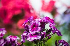 Phlox in the garden Royalty Free Stock Photos