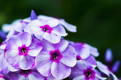 Phlox in the garden Stock Photo