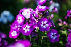 Phlox in the garden Stock Photos