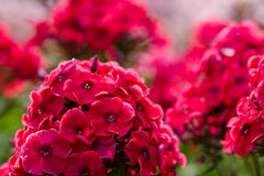 Phlox in the garden Royalty Free Stock Image