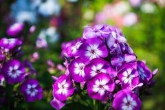 Phlox in the garden Stock Photography