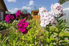 Phlox in the garden Stock Images