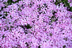 Phlox ground cover Royalty Free Stock Image
