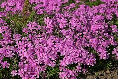 Phlox groundcover. Low-growing perennials, Phlox groundcover royalty free stock photo