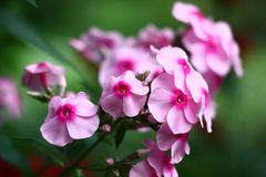 Pink color. The phlox inflorescence is made by flowers with pink petals and darkly pink centre Royalty Free Stock Image