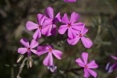 Phlox Longifolia Royalty Free Stock Images